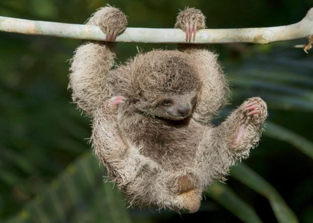 1-three-toed-sloth_000054475736_Small