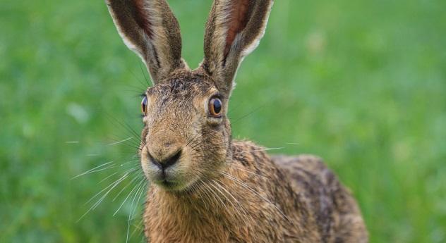 hare rabbit