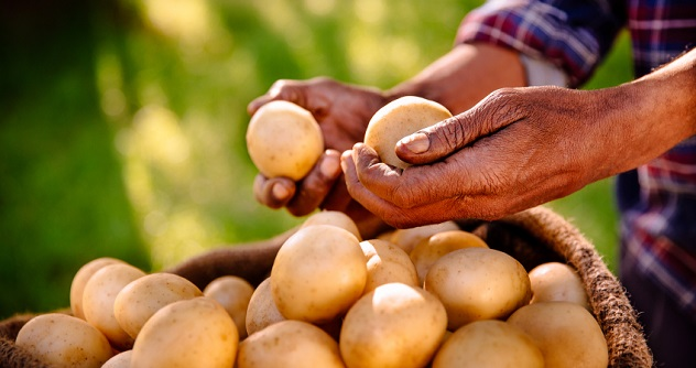 Clean nutritious potatoes from a healthy farm
