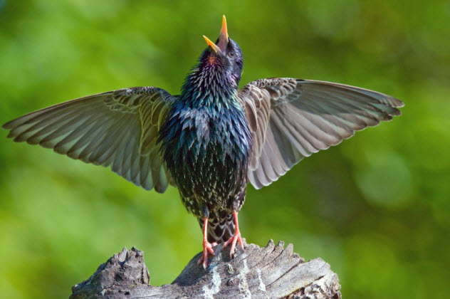 9-starling-singing-like-a-diva_000038233380_Small