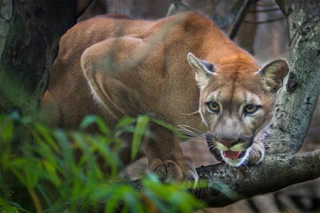 Mountain lion; puma
