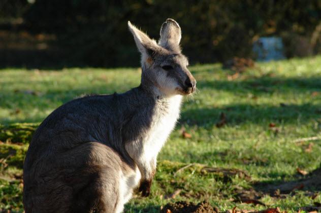 3-kangaroo_000001140781_Small