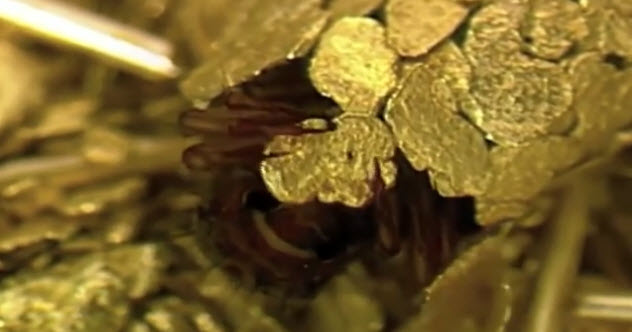 5-caddis-fly-gold