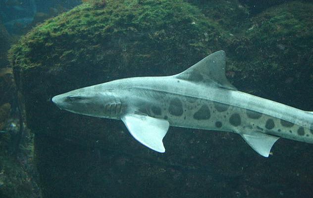 6-leopard-shark