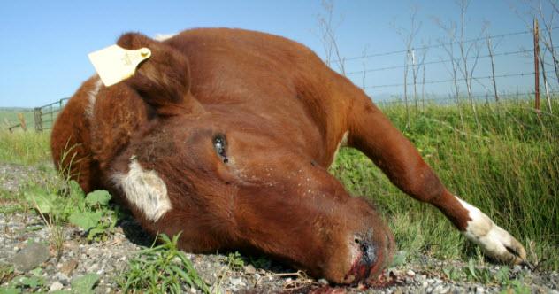 9-dead-cow_000001749329_Small