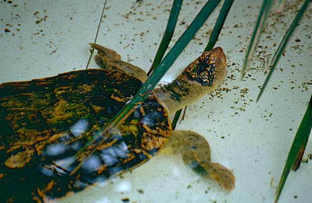 2-fitzroy-river-turtle