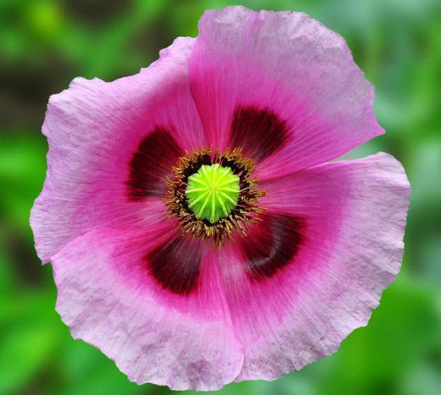 8-opium-poppy_76722815_SMALL