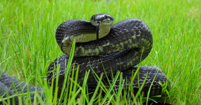 Black rat snake featured