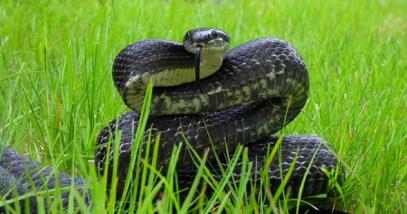 Black rat snake featured