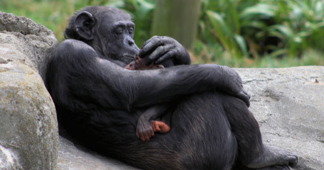 feature-a-7-chimp-mother-with-baby_000057328094_Small
