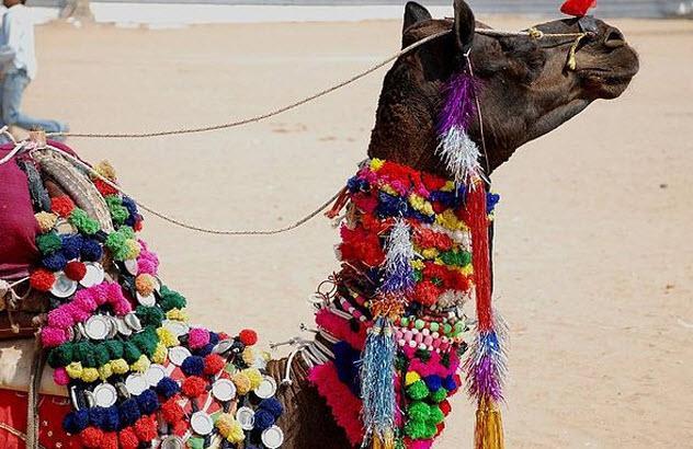 8-camel-fair