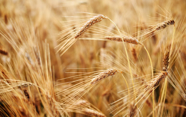 7a-wheat-field_65871225_SMALL