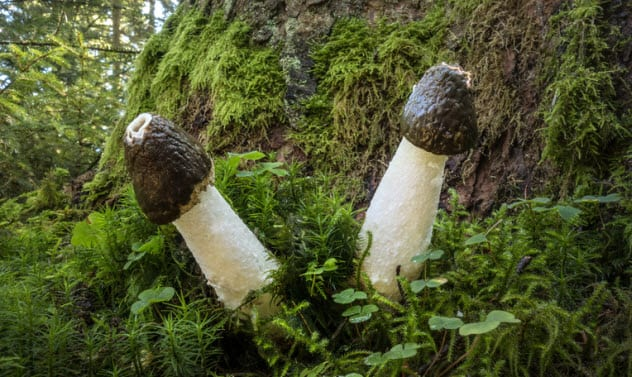 8a-common-stinkhorns_48274990_small