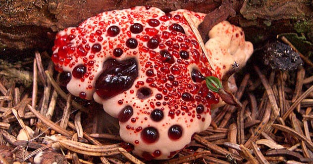 9b-bleeding-tooth-fungus-feature