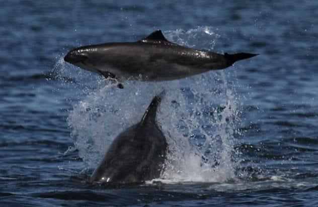 10-dolphin-killing-porpoise