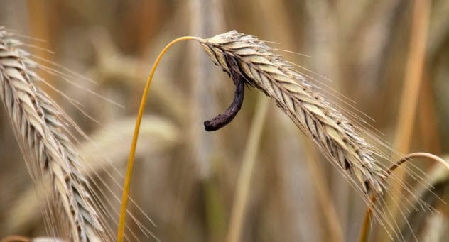 3a-rye-with-ergot_77944169_small