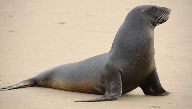 4-new-zealand-sea-lion