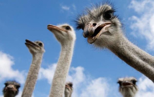 4a-ostriches-466026359