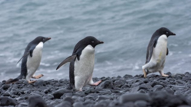 6a-adelie-penguins_89582145_small