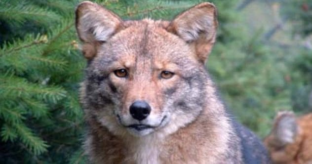 feature-coywolf