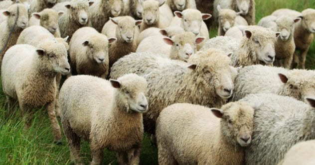 1a-flock-of-sheep-herded-pasture-177127254