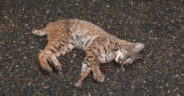 7a-dead-baby-bobcat-518658938