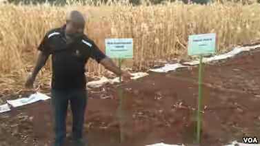 Zimbabwe scientists invents drought and heat resistant maize seeds