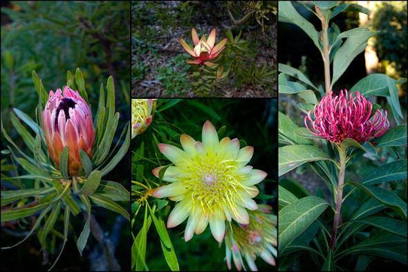 protea blooms