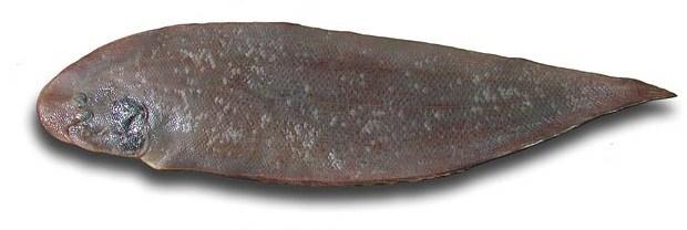 Cynoglossus browni