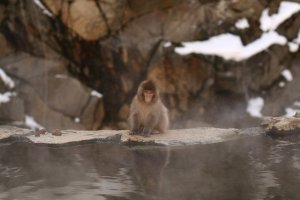 snow monkeys onsen monkeys japan 12