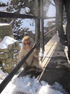 snow monkeys onsen monkeys japan 9