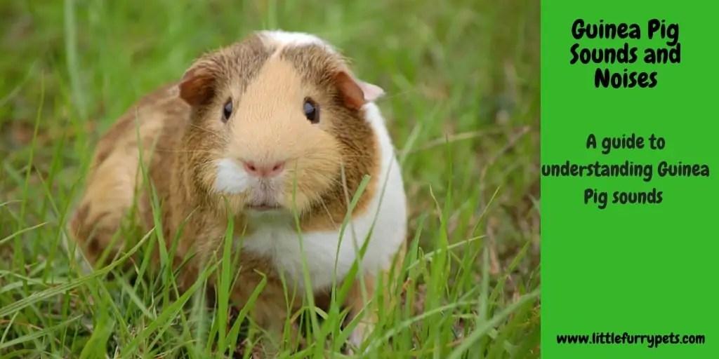 Guinea Pigs Archives - Little Furry Pets