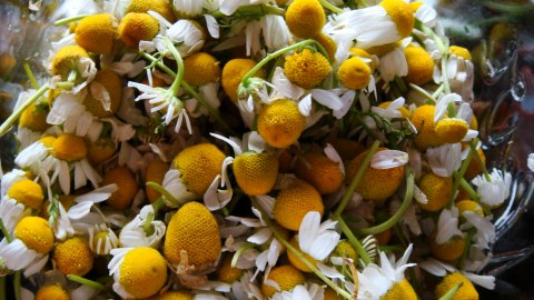 Chamomile by sharin via flickr
