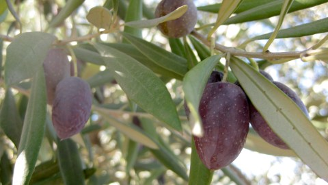 olive harvesting machines