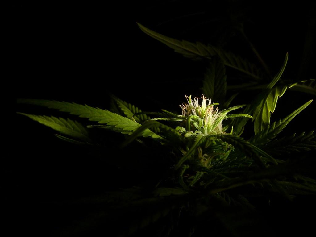 Pot Girl Wallpaper Cannabis Wallpaper A High Resolution Image Of A Cannabis