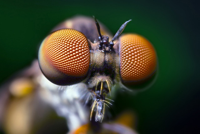 Compound Eyes of a Robber Fly - (Holcocephala fusca) Flickr