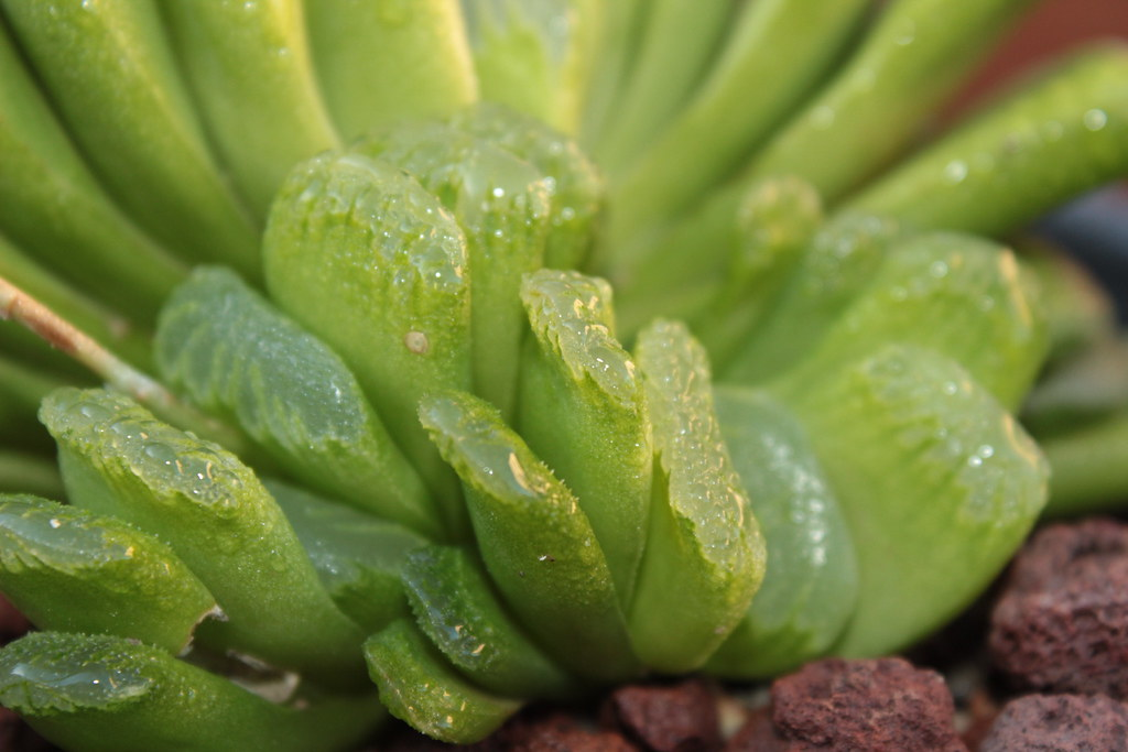 haworthia truncata cv lime green