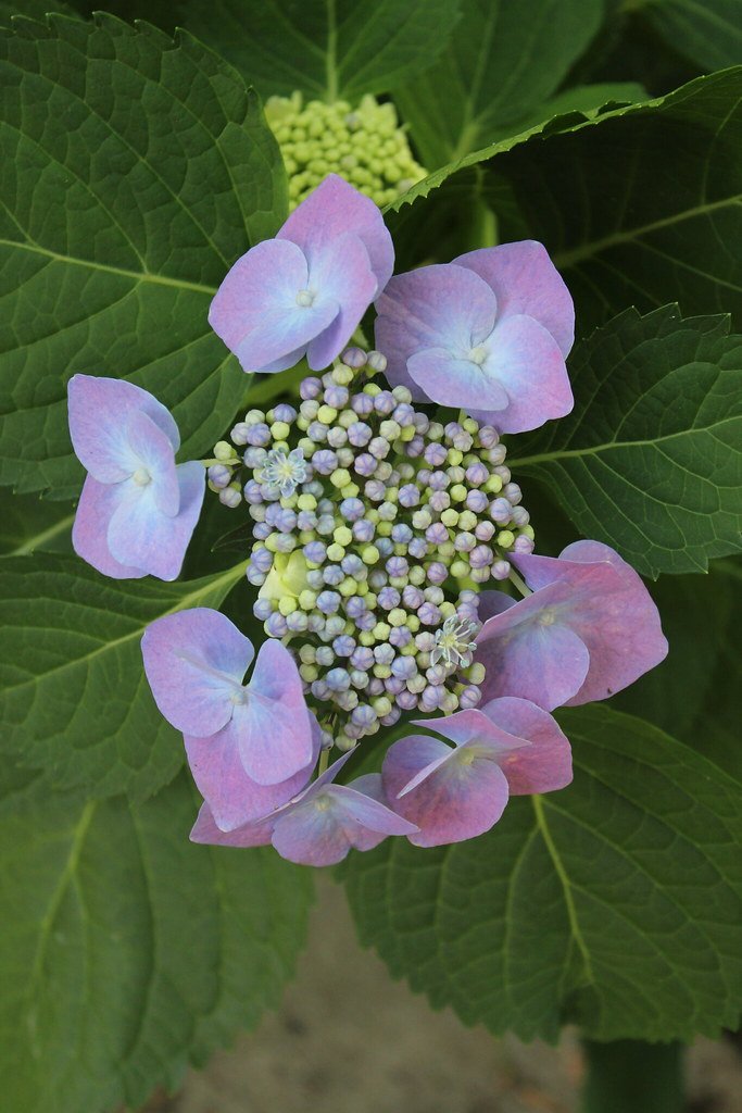 Hydrangea Didn't Flower This Year Hydrangea | My Hydrangea Bush Didn't Flower Last Year, But