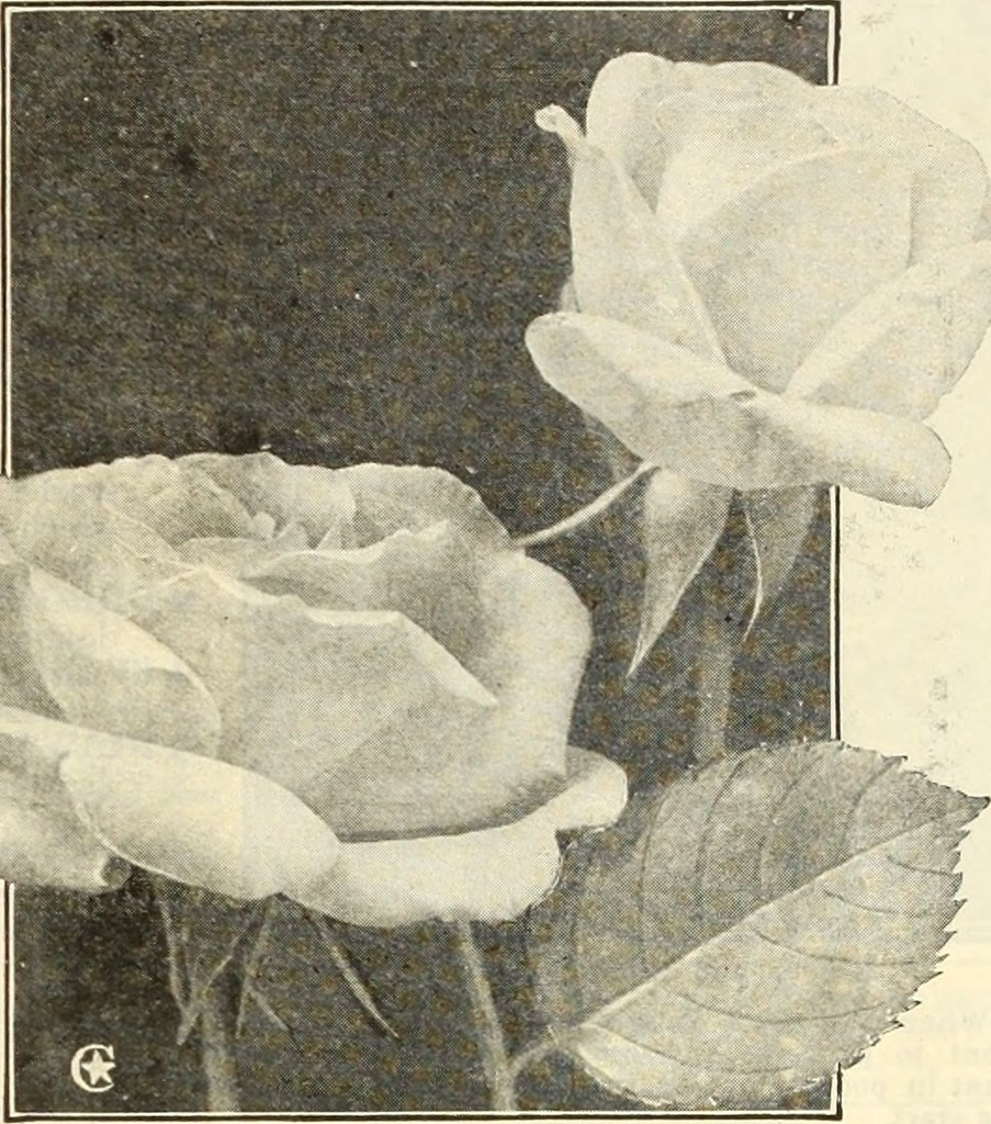 Alister Stella Grey Rose Image From Page 18 Of