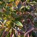 白兰地酒荚莲属的植物
