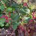 红色浆果荚莲属的植物
