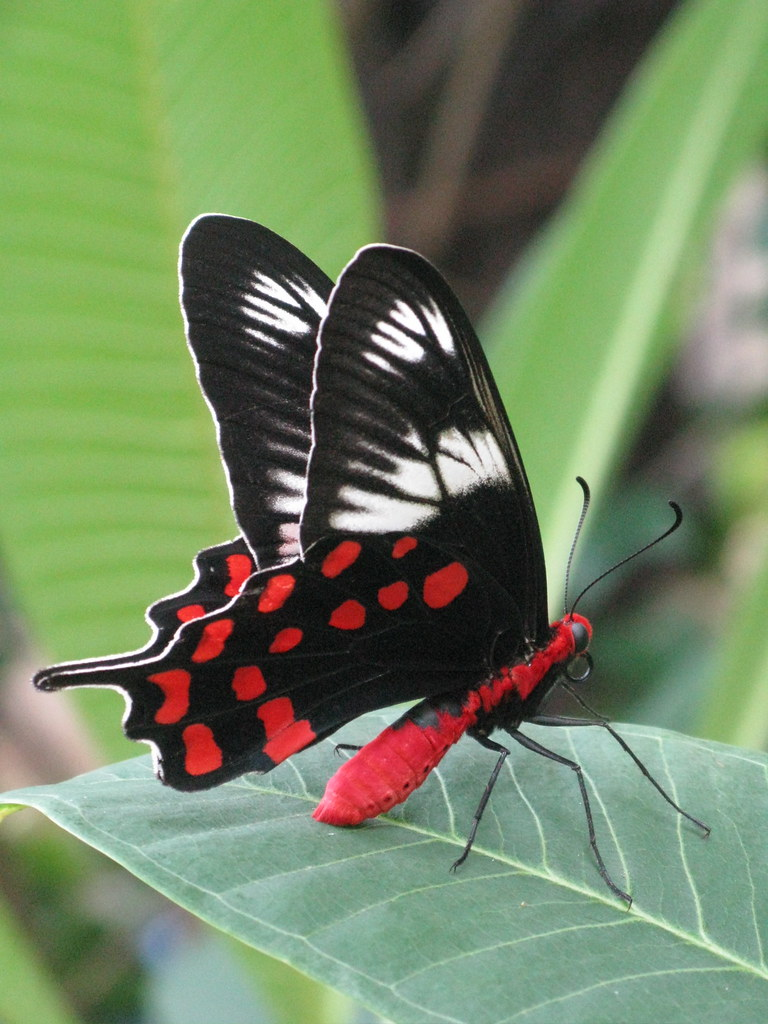 Roter Schmetterling Red-bodied Butterfly | A Butterfly In My Garden... Crimson