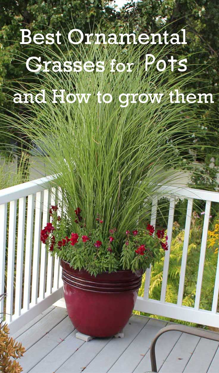Best ornamental grasses for containers dan330 for Tall ornamental grasses for pots