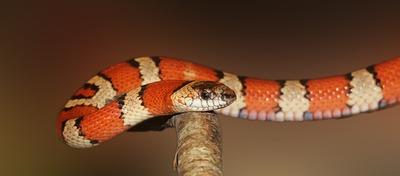 king-snake-502263_960_720