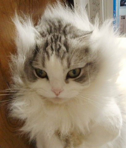 吹くほど可愛い画像『ぶちぎれ猫』