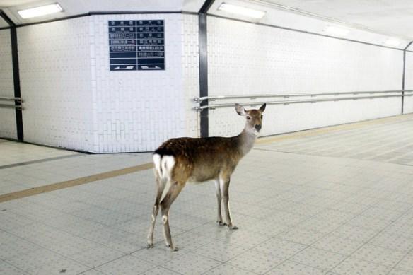 普通の奈良の鹿「雨ンゴ。木の下に行くンゴ」