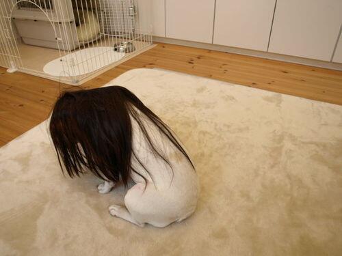 【閲覧注意】犬にハガレンのコスプレさせた結果wwwwwwwwwww