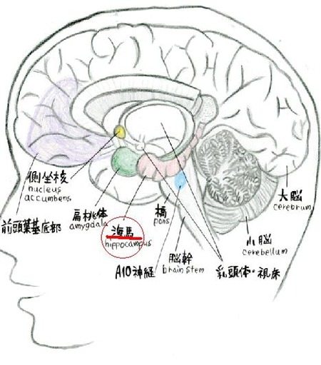 統合失調症、脳の海馬異常が引き金 記憶の整理がうまくできず「計画が立てられない」 理研