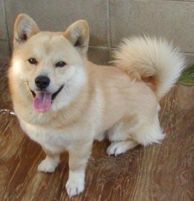 【画像あり】柴犬×コーギーの犬wwwwwwww