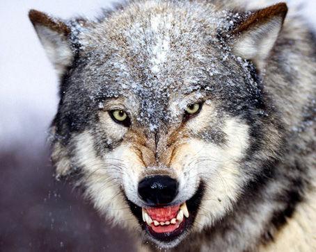 【悲報】 オオカミのみっともな~い姿が激写される (画像あり) wwwwwwwwwwww